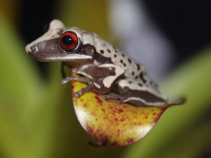 A frog with a bright red eye, a gray body, and a bulbous orange and red belly