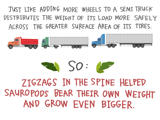 Just like adding more wheels to a semi truck distributes the weight of its load more safely across the greater surface area of its tires. So: Zigzags in the spine helped sauropods bear their own weight and grow even bigger.