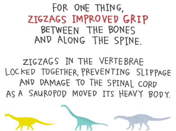 For one thing, zigzags improved grip between the bones along the spine. Zigzags in the vertebrae locked together, preventing slippage and damage to the spinal cord as a sauropod moved its heavy body.