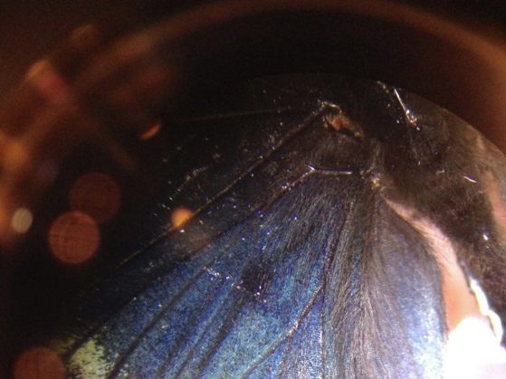A blue butterfly's wing is shown under a microscope.