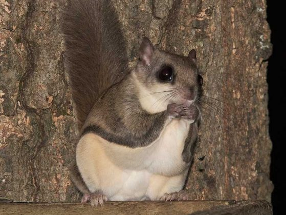 close-up of a flying squirrel